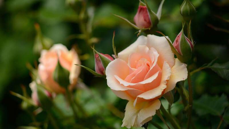 как ухаживать за розой в горшке