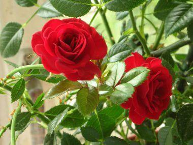 Комнатная роза: уход в домашних условиях.