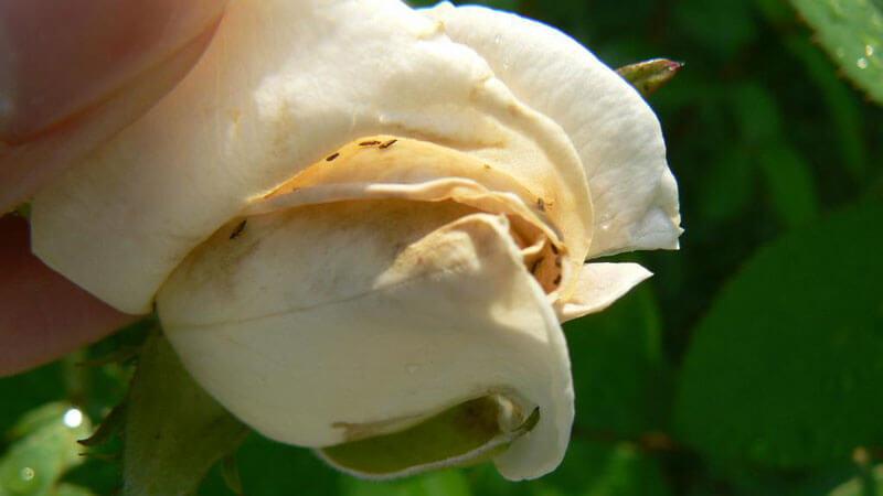 трипсы на розах