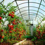 Лучшие сорта томатов для теплиц из поликарбоната. миниатюра