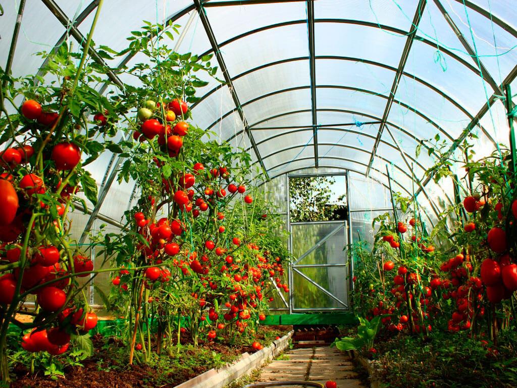 Лучшие сорта помидоров для посадки