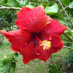 Китайская роза (гибискус): уход в домашних условиях. миниатюра