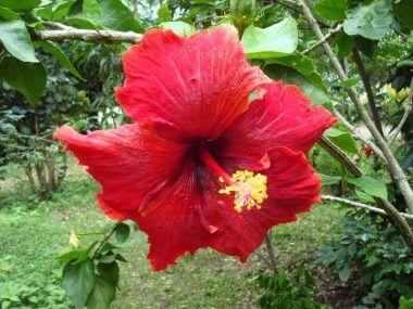 Китайская роза (гибискус): уход в домашних условиях.