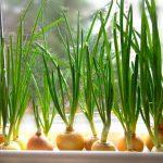 Как вырастить лук на подоконнике на зелень? миниатюра