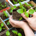 Выращивание рассады перца в домашних условиях. миниатюра