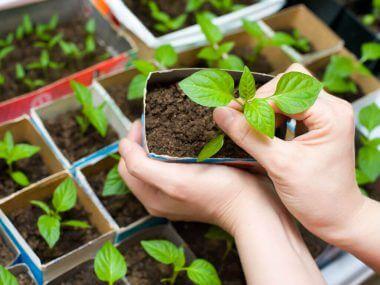 Выращивание рассады перца в домашних условиях.