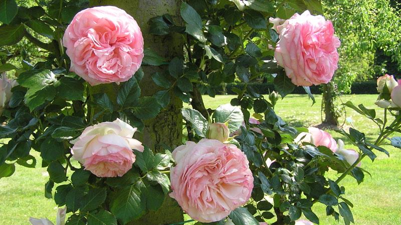 роза плетистая в саду