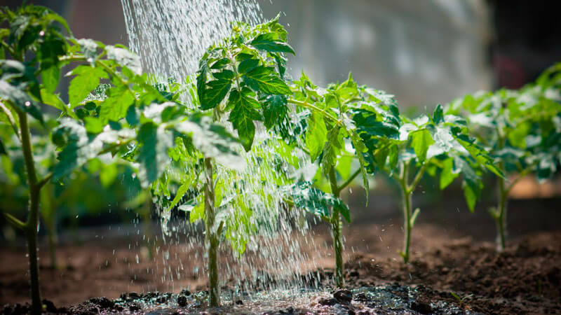 уход за рассадой помидор