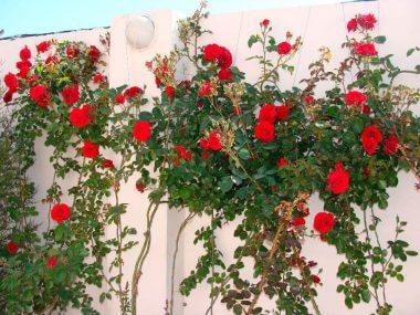 Роза плетистая: посадка и уход, сорта постоянного цветения.