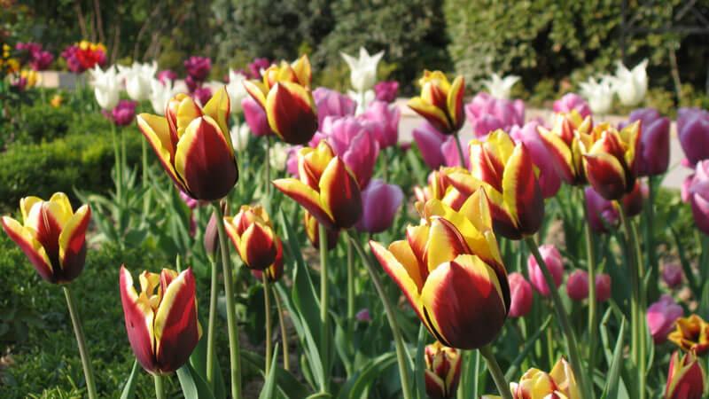 болезни тюльпанов и их лечение
