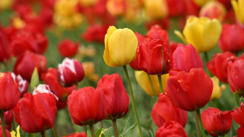пересадка тюльпанов
