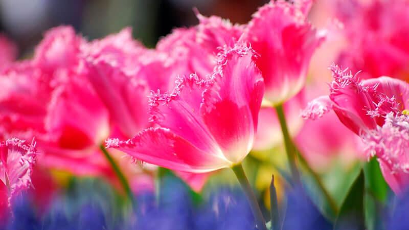 почему не цветут тюльпаны