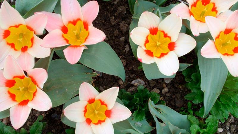 тюльпаны фостера