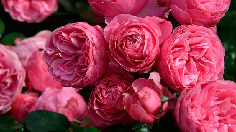 как правильно сажать и выращивать розы флорибунда