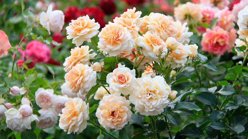 розы выращивание
