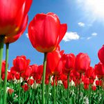 Тюльпаны: посадка и уход в открытом грунте. миниатюра