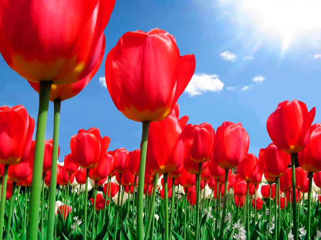 Уход и посадка тюльпанов — Цветы букеты
