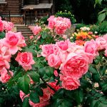 Роза флорибунда: посадка, уход и выращивание. Сорта. миниатюра