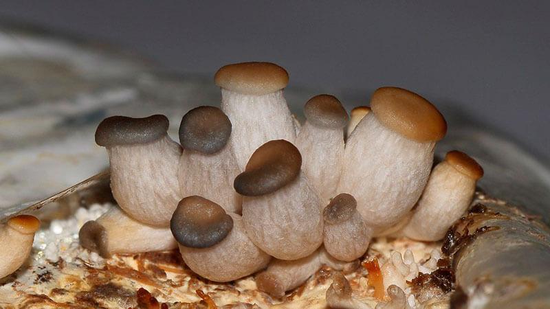 как вырастить белые грибы дома