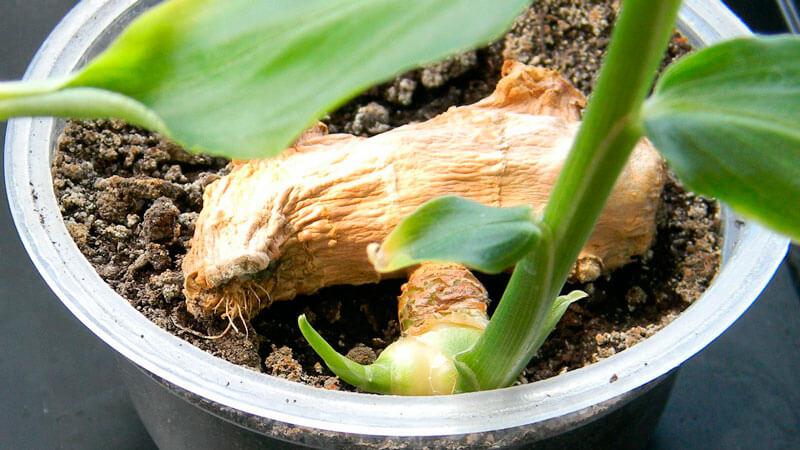 как вырастить имбирь дома на подоконнике