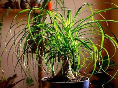 Нолина: уход в домашних условиях. Выращивание бокарнеи из семян.
