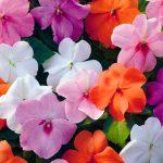Бальзамин садовый: посадка и уход, выращивание из семян. миниатюра