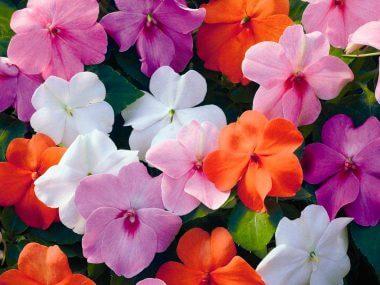 Бальзамин садовый: посадка и уход, выращивание из семян.