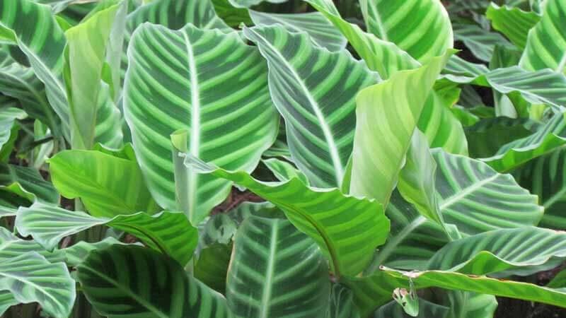 сохнут и скручиваются листья у калатеи