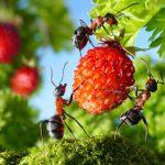 Как избавиться от муравьев в доме и на огороде?