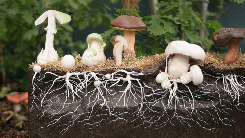 белые грибы в теплице