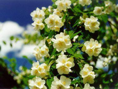 Жасмин кустарник: посадка, уход и размножение.