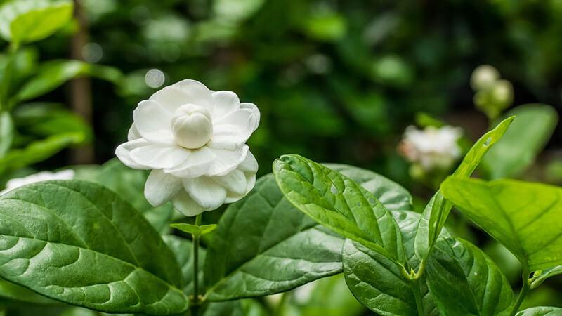 садовый жасмин
