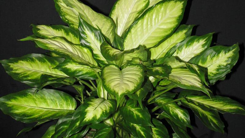 почему у диффенбахии сохнут и желтеют нижние листья