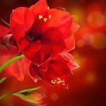 Цветок амариллис: уход в домашних условиях. миниатюра