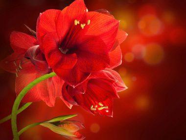 Цветок амариллис: уход в домашних условиях.