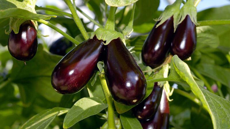 выращивание баклажанов в открытом грунте и теплице