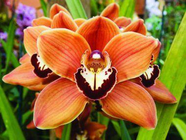 Орхидея цимбидиум: уход в домашних условиях.