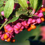 Бересклет — сорта, посадка и уход в открытом грунте.