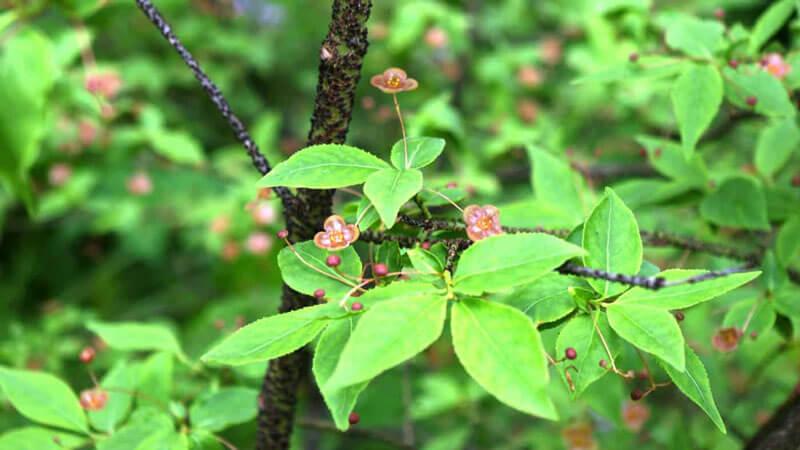 растение берекслет